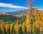 Colville National Forest, WA<br /> Fall colors of Western Larch (Larix occidentalis) stand out on the ridges of the Kettle Mts. at Sherman Pass