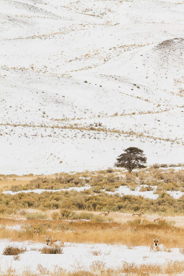 A group of pronghorn antelope lie down in the snow at the bottom of a small valley in Yellowstone National Park, Wyoming.