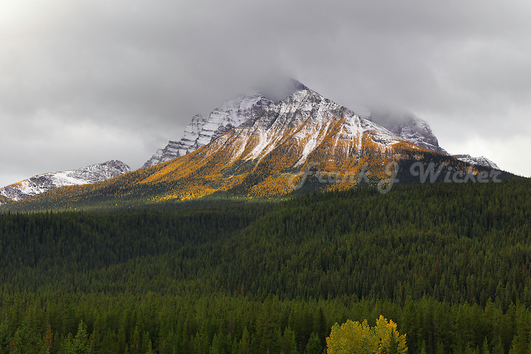 Autumn's golden larches in Banff National Park
