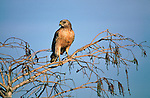 A red-shouldered Hawk perches on a branch in Florida.
