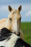 Indian ponies in South Dakota