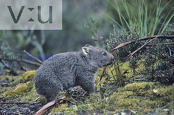 Common Wombat (Vombatus ursinus), Australia.