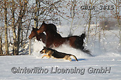 Bob, ANIMALS, REALISTISCHE TIERE, ANIMALES REALISTICOS, horses, photos+++++,GBLA3815,#a#, EVERYDAY