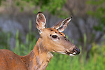 White-tailed doe covered with flies.