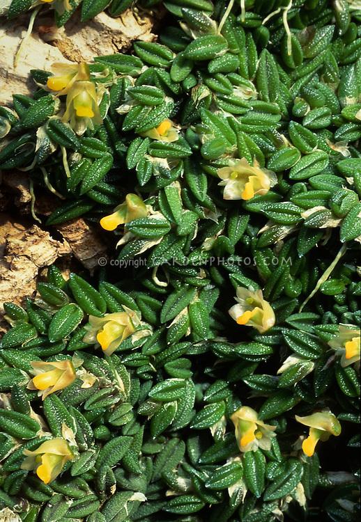 Dendrobium torressae miniature orchid species from Australia, aka Dockrillia toressae, mat forming