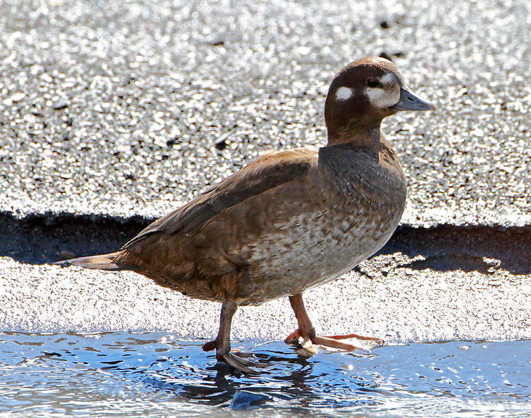 Female harlequin duck on edge of Savage River in June