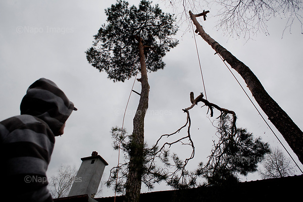 OTWOCK, POLAND, 15/03/2017:<br /> Andrzej looks up the tree that his team is felling in a small town of Otwock near Warsaw, March 15, 2017. The new controversial law has allowed to cut the trees that were previously banned and there's been a sure in cutting trees all over the country. <br /> (Photo by Piotr Malecki / Napo Images)<br /> ****<br /> OTWOCK,  15/03/2017:<br /> Wycinka dwoch drzew na prywatnej dzialce w Otwocku po wprowadzeniu przez ministra srodowiska Jana Szyszke prawa o swobodym wycinaniu drzew.Fot: Piotr Malecki / Napo Images