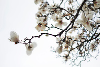 Japanese Magnolia blossoms outside Chapel of Memories.<br />  (photo by Megan Bean / &copy; Mississippi State University)