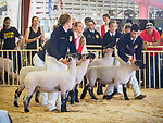 Sheep showmanship, Friday at the 80th Amador County Fair, Plymouth, Calif.<br /> <br /> Heifer auction, tractors, tractor pull, sawmill<br /> .<br /> .<br /> .<br /> .<br /> #AmadorCountyFair, #1SmallCountyFair, #PlymouthCalifornia, #TourAmador, #VisitAmador