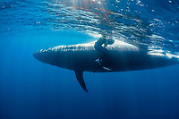 Bryde's whale, Balaenoptera brydei or Balaenoptera edeni, slides past photographer Brandon Cole after making a sudden turn to avoid hitting a marlin feeding on a baitball of sardines, off Cabo San Lucas, Baja California, Mexico ( Eastern Pacific Ocean ) #7 in sequence of 9