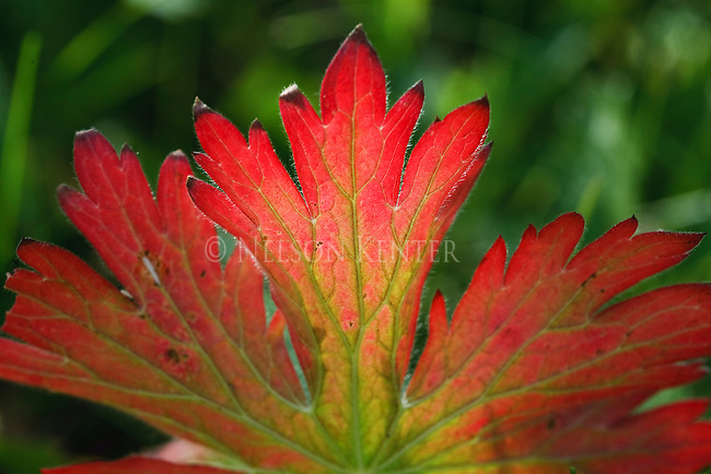 The bright red of a Sticky Geranium leaf in late summer