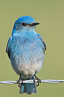Male mountain bluebird perched on a strand of barbed wire