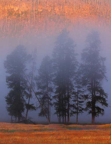 A STAND OF LODGEPOLE PINES ARE SILHOUETTED AMONGST THE MORNING FOG AT YELLOWSTONE NATIONAL PARK,WYOMING