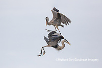 00684-05310 Great Blue Herons (Ardea herodias) fighting. Viera Wetlands Brevard County FL