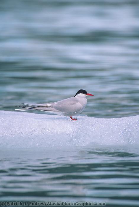 Arctic tern on iceberg, Meares Inlet, Prince William Sound, Alaska.