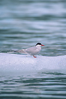 Arctic tern on iceberg, Meares Inlet, Prince William Sound, Alaska.