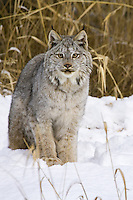 Canada Lynx sitting in the snow in front of some dried grasses - CA