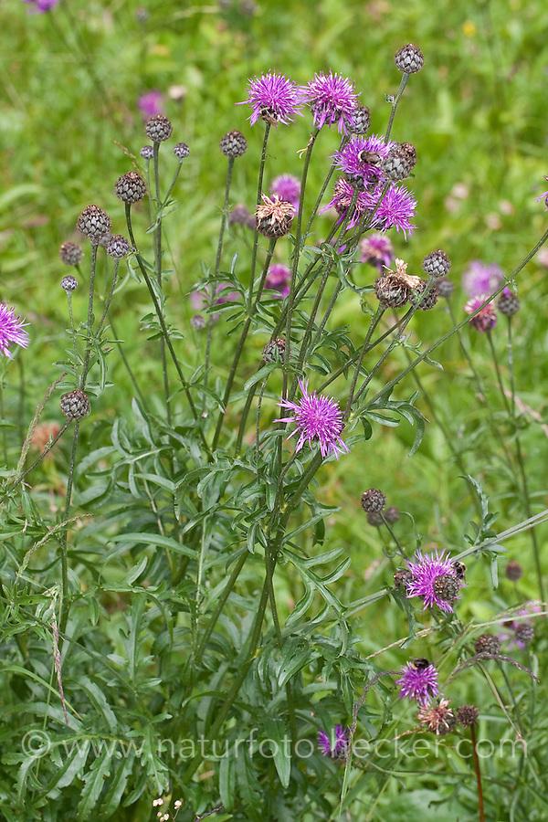 Skabiosen-Flockenblume, Fritschs Flockenblume, Flockenblume, Centaurea scabiosa subsp. fritschii, Centaurea grinensis fritschii, Greater Knapweed