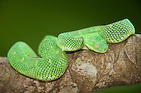 489590002 a captive greenish coloration west african bush viper atheris chlorechis sits coiled on a limb