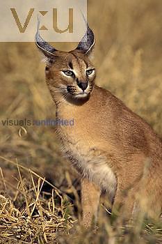 Caracal Cat ,Felis caracal, Namibia, Africa