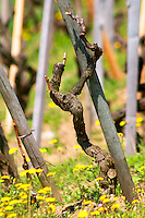 A syrah vine in spring time, winter pruned with yellow flowers in the vineyard. Terraced vineyards in the Cote Rotie district around Ampuis in northern Rhone planted with the Syrah grape. Ampuis, Cote Rotie, Rhone, France, Europe