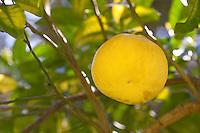 Pampelmuse, reife Frucht am Baum, Riesenorange, Adamsapfel, Grapefruit, Citrus maxima, Pomelo, Pummelo, Shaddock