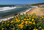 Lizard tail blooming at Pescadero State Beach