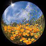 Escondido, California; a circular view of a field of California Poppies  and yellow mustard flowers on a hillside on a sunny afternoon