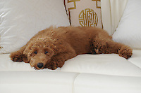 MANALAPAN, FL - JANUARY 14: Lois Pope's dog Patton at her home on January 14, 2017 in Manalapan , Florida. Credit: mpi04/MediaPunch NO NEW YORK DAILIES