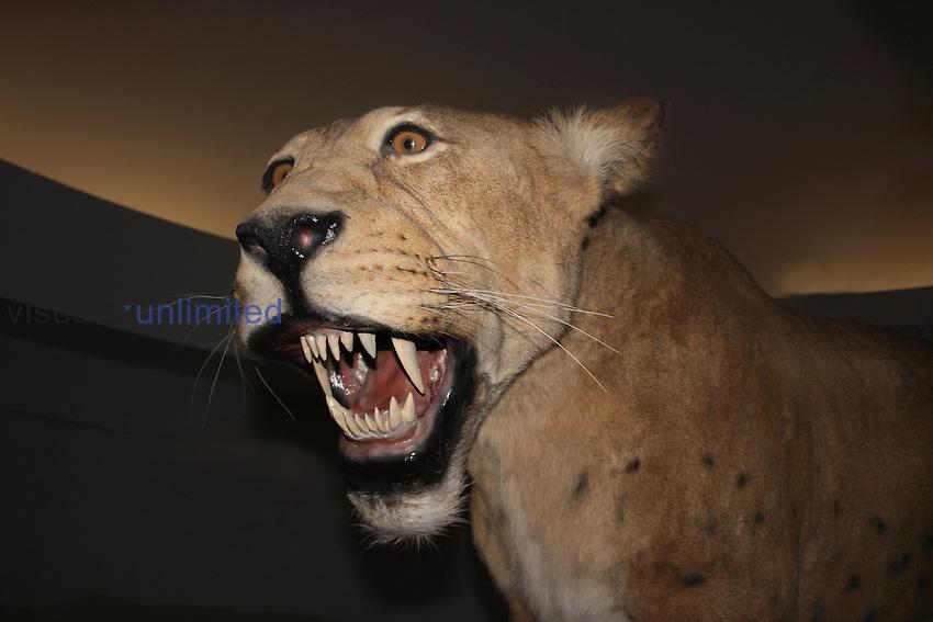Scimitar-toothed Cat mounted fossil (Homotherium serum), Pleistocene, 10,000 years ago, Beringie Museum, Yukon, Canada