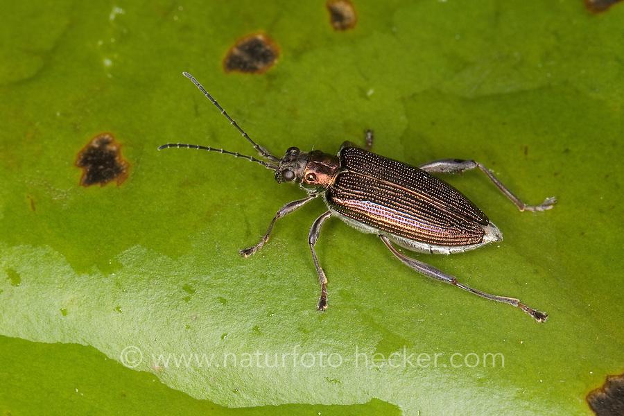 Rohrkäfer, Schilfkäfer, auf dem Schwimmblatt einer Seerose, Donacia crassipes, reed beetle