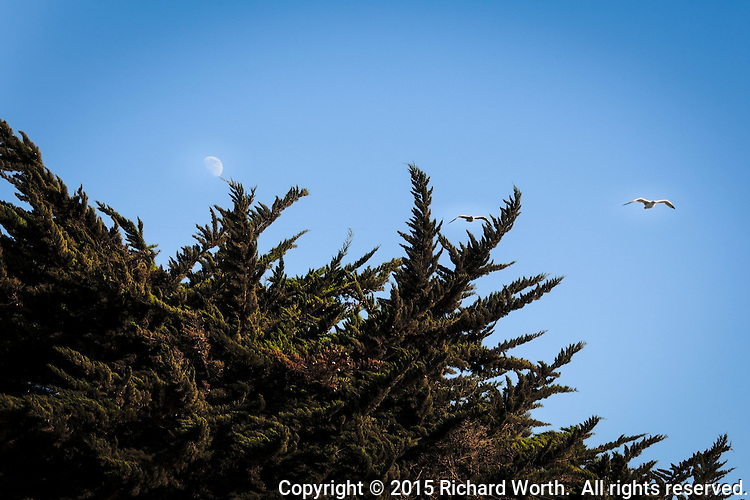 Tangled conifer limbs seem to try capturing a floating gibbous moon and flying gulls along San Francisco Bay.