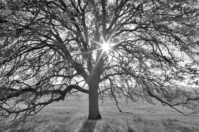 Oak tree and sun. Bear Valley. California