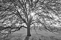 Oak tree and sun. Bear Valley. California