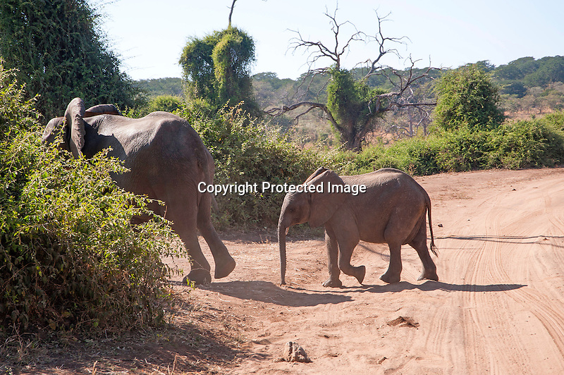 Baby Elephant Following its Mother in Chobe National Park