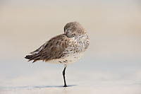 Dunlin (Calidris alpina) sleeping on the beach at Fort Desoto Park, Tierra Verde, Florida