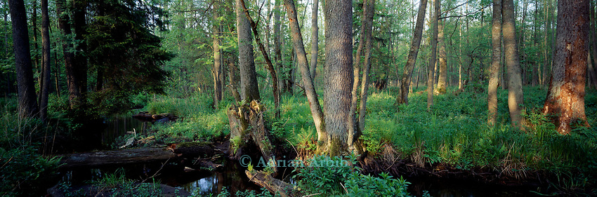 Bialowieza forest, Poland.<br /> This last remaining remnant of primeaval forest once covered most of Europe  and is home to bison, wolves and bears.