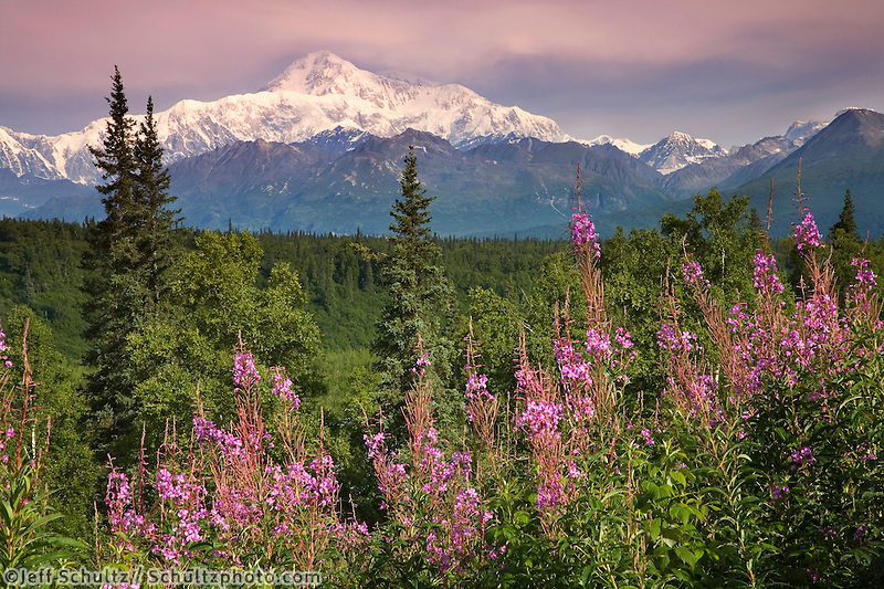 Southside View Of Mt.Mckinley W/Fireweed Southcentral Alaska Summer Along Parks Highway