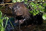 Beaver (Castor canadensis) in the water with a birch branch on his back.  Spring.  Minnesota.