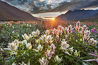 Midnight sunset over dwarf fireweed, or river beauty, and elegant paintbrush wildflowers along the Marsh Fork of the Canning River in the Arctic National Wildlife Refuge in the Brooks Range mountains, Alaska.