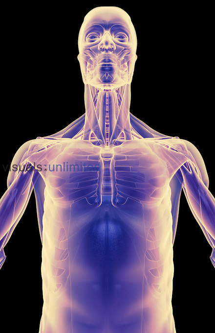 An anterior view of stylized muscles of the upper body. Royalty Free