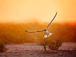 Terns*