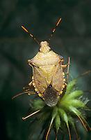 Waldwächter, Wanze, Arma custos, dock leaf bug, dock leaf-bug, Baumwanze, Baumwanzen, Pentatomidae