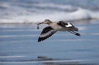 Willet (Tringa semipalmata inornata), Western subspecies, in winter plumage flying away with food on Cayucos Beach in Cayucos, California.