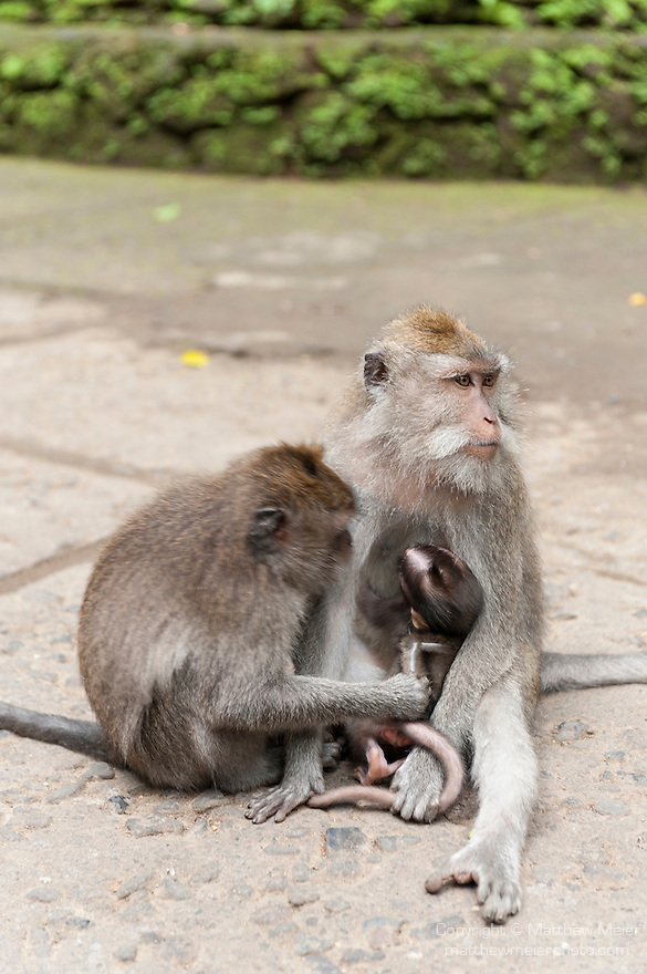 Monkey Forest, Ubud, Bali, Indonesia; a mother crab-eating macaque (Macaca fascicularis) monkey breast feeds it's young on a walking path through the sanctuary