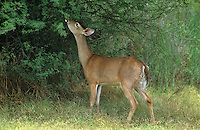 625350090 a young buck whitetail deer odocoileus virginianus feeds on leaves from a mesquite tree in the lower rio grande valley of south texas united states
