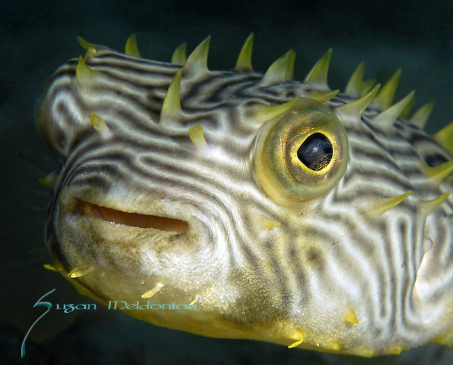 Striped Burr fish