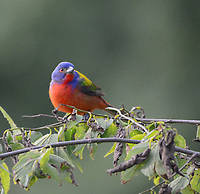 Courtesy photo/TERRY STANFILL<br />A painted bunting is seen in western Benton County. Terry Stanfill took the picture June 10 at his home near Decatur.