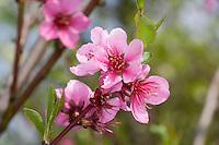 Pfirsich, Blüte, Pfirsichbaum, Obst, Obstbaum, Prunus persica var. persica, Peach