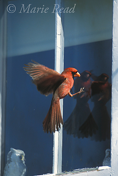 Northern Cardinal (Cardinalis cardinalis), male attacking its reflection in a window, New York, USA<br /> Slide # B162-301